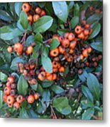 Autumn Berries In Michigan Metal Print