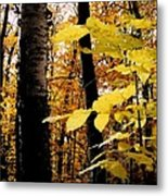 Autumn Birch Trees Metal Print