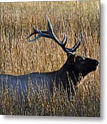 Autumn Bull Elk In Yellowstone National Park Metal Print