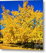 Autumn Colors Gingko Tree  Metal Print