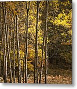 Autumn Forest Scene With Birches In West Michigan Metal Print