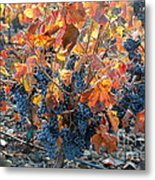 Autumn Grapes Metal Print