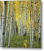 Autumn In The Aspen Grove Metal Print
