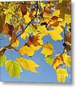 Autumn Leaves Of The Tulip Tree Metal Print