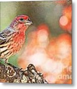 Autumn Male House Finch 1 Metal Print