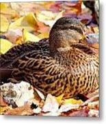 Autumn Mallard Metal Print