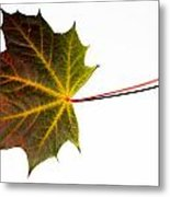 Autumn Maple Leaf Metal Print