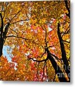 Autumn Maple Trees Metal Print