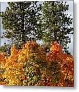 Autumn Maple With Pines Metal Print