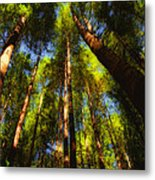Autumn Sunlight Cast On Majestic Green Oregon Old Growth Forest  Metal Print