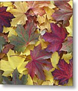 Autumn Sycamore Leaves Germany Metal Print