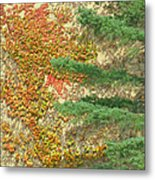 Autumn Vine And Evergreen Metal Print