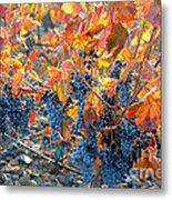 Autumn Vineyard Sunlight Metal Print