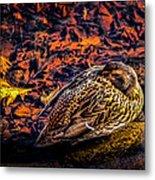 Autumns Sleepy Duck Metal Print