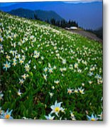 Avalanche Lily Field Metal Print