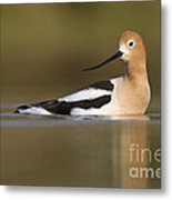 Avocet Looking Back Metal Print