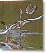 Avocets Chase Off The Egret Metal Print