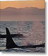 Award Winning Photo Of Two Killer Whales At Sunset Dramatic Silhouette Metal Print