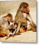 Baboon Family In The Desert Metal Print