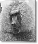 Baboon In Black And White Metal Print