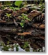 Baby Alligators Reflection Metal Print