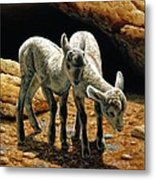 Baby Bighorns Metal Print by Crista Forest