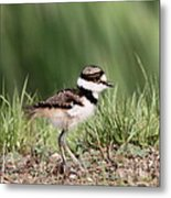Baby - Bird - Killdeer Metal Print