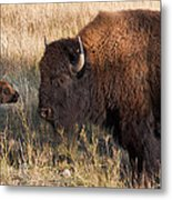 Baby Bison Meets Daddy Metal Print