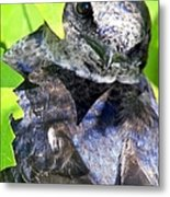 Baby Bluejay Peek Metal Print by Karen Wiles