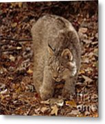 Baby Canada Lynx In An Autumn Forest Metal Print