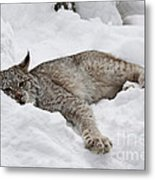 Baby Canadian Lynx Laying In The Snow Metal Print