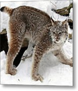 Baby Canadian Lynx Leaving The Winter Den Metal Print