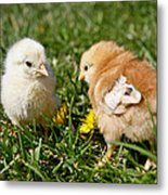 Baby Chicks Metal Print