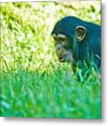 Baby Chimp In The Grass Metal Print