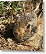Baby Eastern Cottontail Metal Print