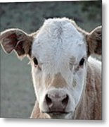 Baby Cow In Colorado Metal Print