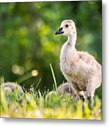 Baby Duckling In The Morning Light Metal Print