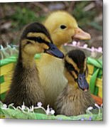 Baby Ducks Metal Print
