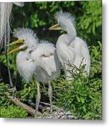 Baby Egrets Metal Print