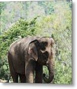 Baby Elephant Chiang Mai, Thailand Metal Print