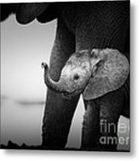 Baby Elephant Next To Cow  Metal Print