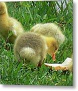 Baby Geese-mayer Lake-savannah Metal Print
