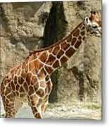 Baby Giraffe 4 Metal Print