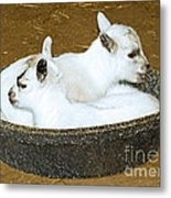 Baby Goats Lying In Food Pan Metal Print