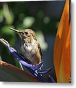 Baby Hummingbird On Flower Metal Print