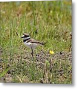 Baby Killdeer Metal Print