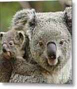 Baby Koala With Mom Metal Print