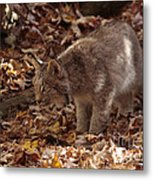 Baby Lynx Hunting In An Autumn Forest Metal Print