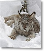 Baby Lynx In A Winter Snow Storm Metal Print