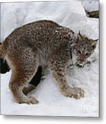 Baby Lynx Staying Close To Its Winter Den Metal Print